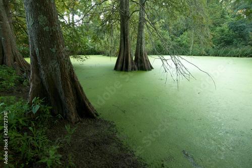 Fotografie, Obraz  A swamp at the Myrtles Plantation, St