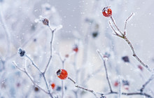 Branches Of Wild Rose Hips With Red Berries Covered With Hoarfrost In The Winter Garden. Shallow Depth Of Field