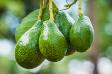 Аvocado Fruits Hanging On Tre...