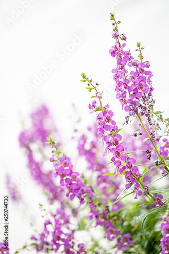 Foto op Canvas Lavendel purple flowers on a white background