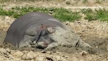 Hippopotamus. A Big Lazy Baby ...