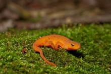Red Eft - Notopthalmus Virides...