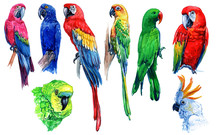 Bright Parrots. Watercolor Drawings Isolated On White Background.