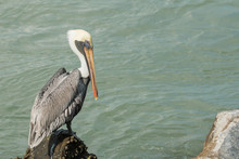 A Male Brown Pelican Perched On Jetty Rocks - Pelecanus Occidentalis