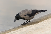 A Grey Crow On The Beach In Search For Food