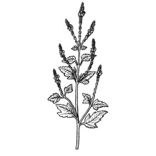 Hand Drawn Verbena Officinalis...