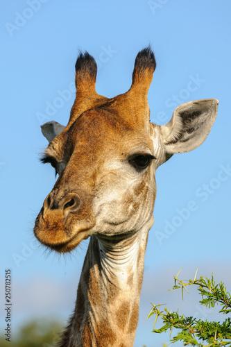 Cadres-photo bureau Girafe South African giraffe or Cape giraffe (Giraffa camelopardalis giraffa). KwaZulu Natal. South Africa