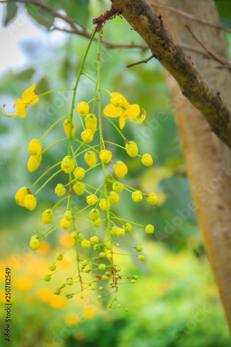 Printed kitchen splashbacks Birch Grove Beautiful yellow shower flower (Cassia Fistula) on tree. Cassia fistula is also known as the golden rain tree.