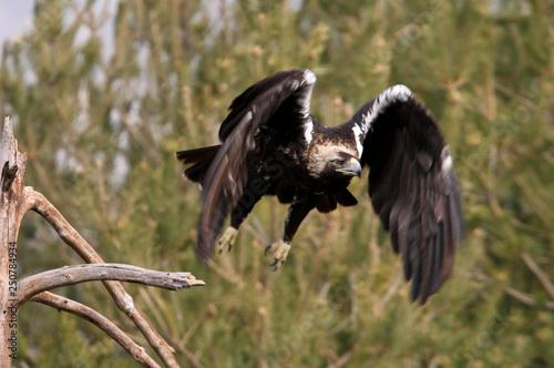 Fotografía  Spanish Imperial Eagle. Aquila adalberti