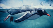 Gentoo penguin swimming marine life underwater ocean / Penguin on surface and dive dip water
