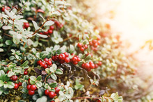 Ripe Red Cowberry And Cranberries Grows In Wilderness