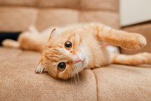 Ginger Flop-eared Cat On A Sofa