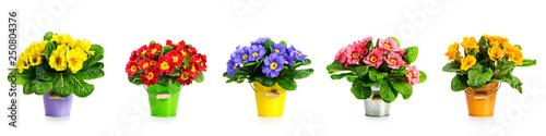 Primrose primula spring flowers banner Fototapet