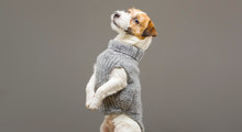 Charming Jack Russell Posing In A Studio In A Warm Gray Sweater.
