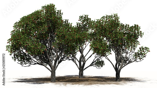 Fotografía  Red delicious apple trees on a sand area - isolated on white background