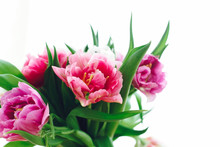 Beautiful Pink And Purple Tulips In Soft Light. Double Peony Tulips Isolated On White With Copy Space. Colorful Flowers For Holiday. Happy Mothers Day. International Women's Day. Hello Spring