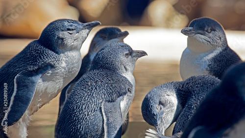 Photo sur Toile Pingouin Oiseau manchot nain