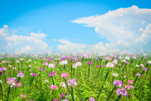 Beautiful Spider Flower Pink And White Blossom In The Flower Field Spring Colorful Garden