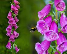Pink Digitalis Purpurea Flower And Bumblebee