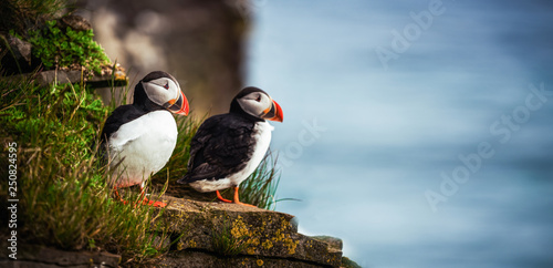 Fotografie, Tablou  Wild Atlantic puffin seabird in the auk family.