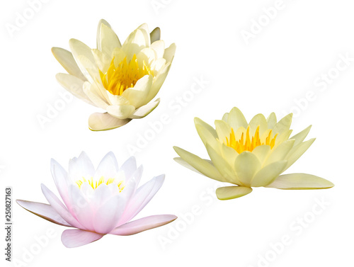 Poster de jardin Nénuphars three water lily flowers isolated on white