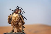 Falcon With A Leather Hood. Fa...