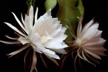 Cactus Queen Of The Night