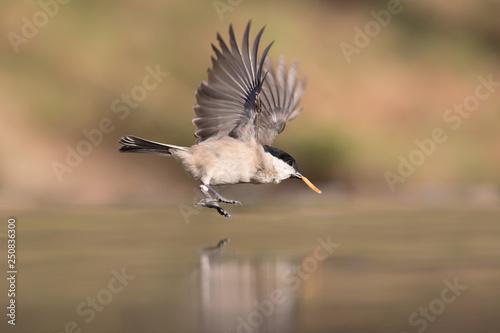 Fotografie, Obraz  Magnifica natura, una cincia bigia in volo sul fiume (Poecile palustris)