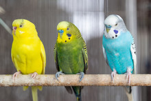Group Of Fancy Color Budgerigar