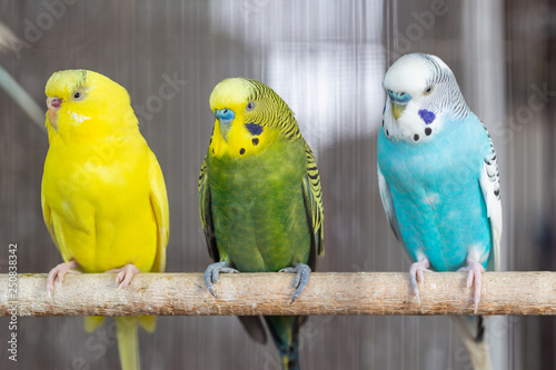 Tuinposter Papegaai Group of Fancy color Budgerigar