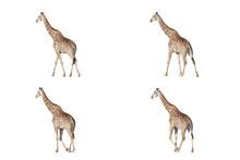 A Set Of African Giraffes Walk...