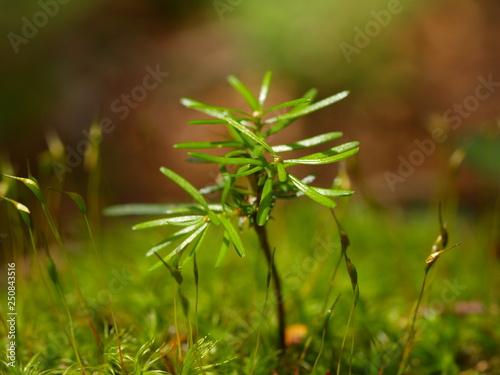 Photo fir, abies alba, forest, austria