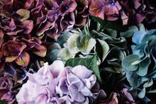 Beautiful Colourful, Purple, Blue, Green, Blossoming Hydrangea Flower Horizontal Texture
