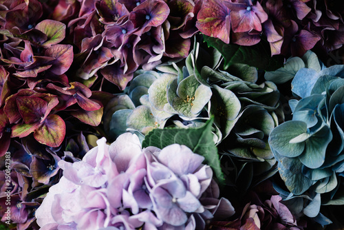 Beautiful colourful, purple, blue, green, blossoming hydrangea flower horizontal Fototapet