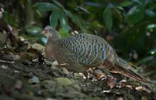 Grey Peacock Pheasant In Nature.