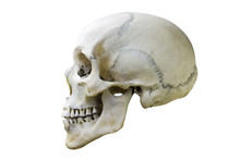 Natural White Human Skull Prof...