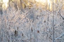 Frozen Marsh Cattails