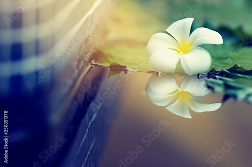 Keuken foto achterwand Frangipani Beautiful Plumeria white color on the ground with blurry background, flower on dropped on the ground, with copy space for text to create postcard.