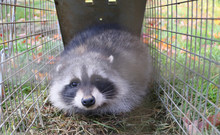 A Raccoon Caught In A Cage In A Garden And Ready To Be Re-released Into The Wild