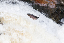 Large Atlantic Salmon Leaping Up The Waterfall On Their Way Migration Route To Their Spawning Grounds
