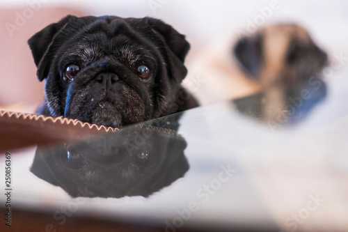 Black beautiful pug lloking at the camera mirrored on the table Принти на полотні
