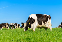 Cows Graze On A Green Field In...