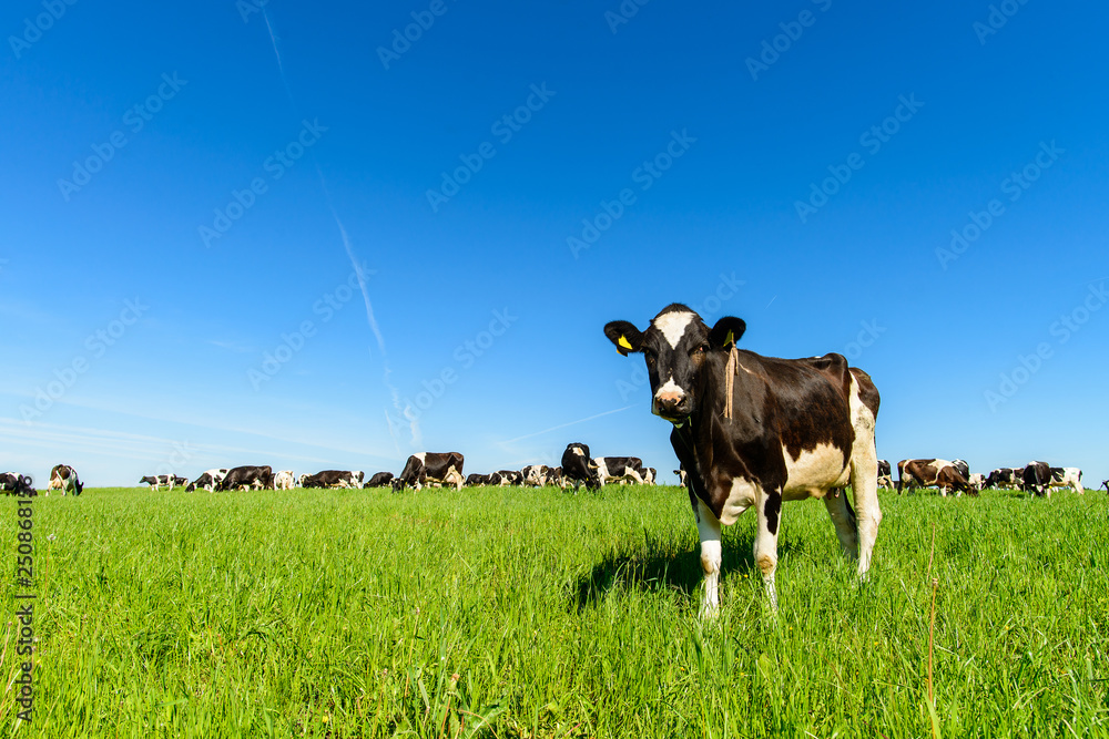 Fototapeta cows graze on a green field in sunny weather, layout with space for text