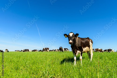 Fotografiet cows graze on a green field in sunny weather, layout with space for text