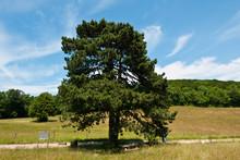 Pinus Nigra, Austrian Pine, Black Pine