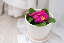 Pink Primula In A Pot In Interior