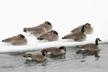 Canada Geese Sleeping In The Cold