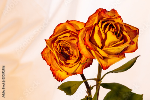 Close-up of two beautiful red-rimmed yellow roses on an isolated white background.