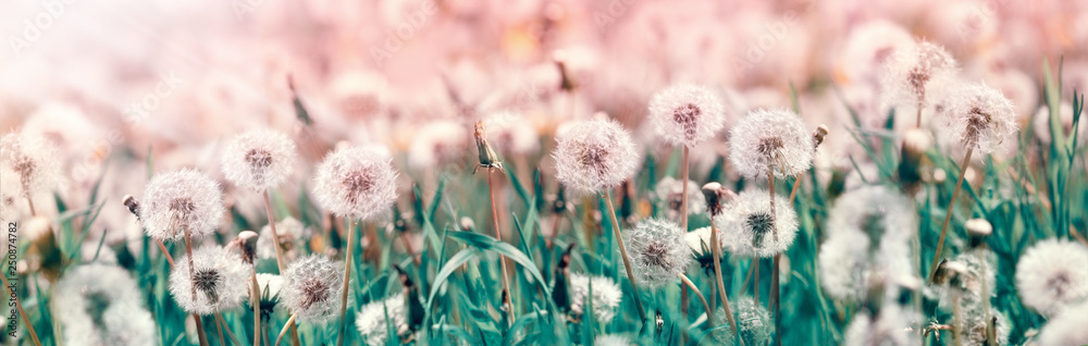 Fototapety, obrazy: Dandelion seeds, selective and soft focus on dandelion seeds - beautiful nature in spring and summer