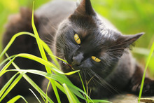 Black Bombay Cat Portrait With Yellow Eyes Eat Grass Outdoor In Nature Close Up